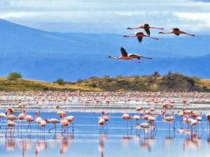 Flanerende flamingo's Lake Natron