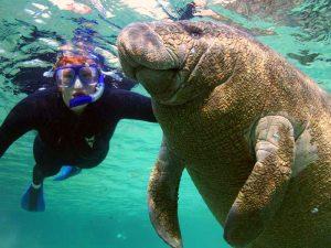 Snorkelen met zeekoeien